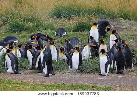 King penguins living wild at Parque Pinguino Rey, Tierra Del Fuego, Patagonia, Chile