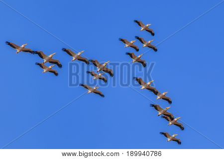 white pelicans (pelecanus onocrotalus) in flight in Danube Delta Romania