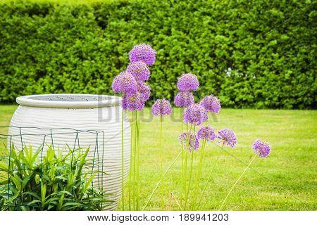 Allium Giganteum Flowers In A Garden
