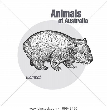 Wombat hand drawing. Animals of Australia series. Vintage engraving style. Vector art illustration. Black graphic isolate on white background. The object of a naturalistic sketch.