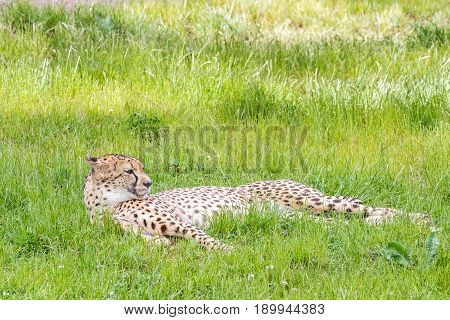 In the grass there is an asiatic cheetah
