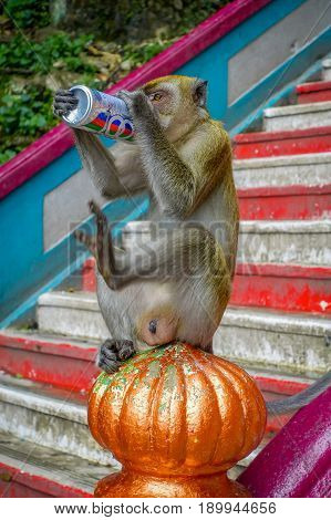 Kuala Lumpur, Malaysia - March 9, 2017: Monkey drinking soda can in the stairs to Batu Caves, a limestone hill with big and small caves and cave temples and a very popular Hindu shrine outside India