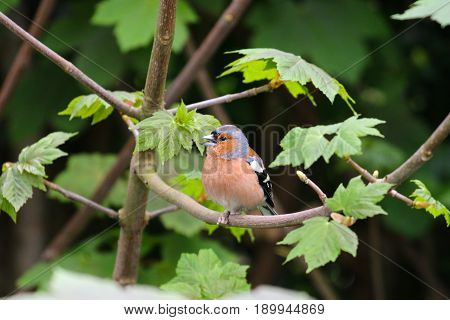 An adult male Chaffinch with a condition called scaly legs affecting it's limbs