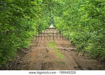 Photo prefaces forest, ground, unpaved road. It runs through a deciduous forest. On both sides of the road grows lush vegetation in the form of bushes and young trees. It is spring, the branches of the trees cover the leaves. It's daytime.
