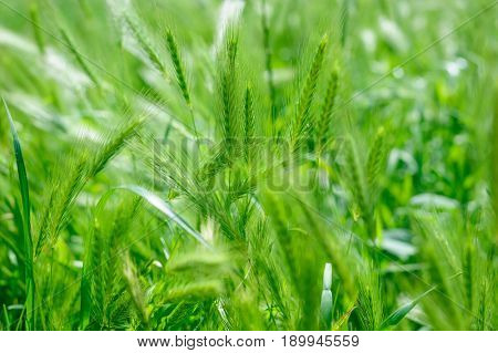 green rass spikes background