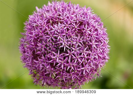 Close up of a Chives flower Allium jesdianum with blurry background in summer.