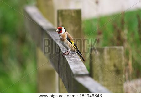 An adult Goldfinch perching on a wooden fence