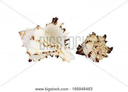 Old Sea Shell Isolated On White Background