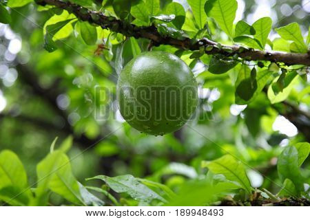 Tropical fruit of spherical shape Singapore south east Asia