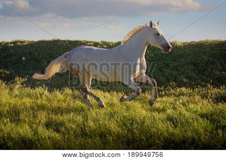 Dapple-grey horse runs on green field on the blue sky background in evening