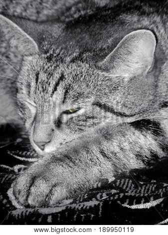 Tabby cat is dozing one eye is slightly opened the paw is stretched forward. Photo toned