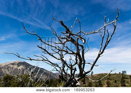 Angeles National Forest, LA County CA. dead tree branches with a cloudy blue sky background
