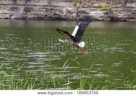 White Stork. Stork In Flight.