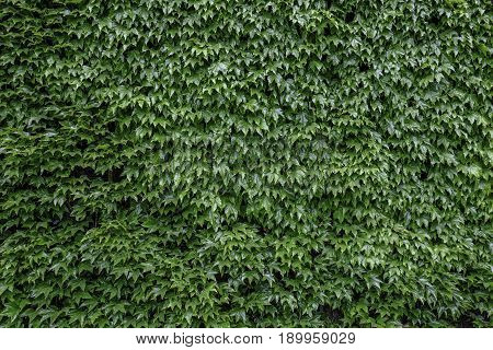 Wall of lusterous green ivy leaves background shot with great light.
