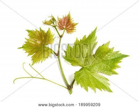 Grape vine leaf isolated on white background. Vine sprig. Nature object