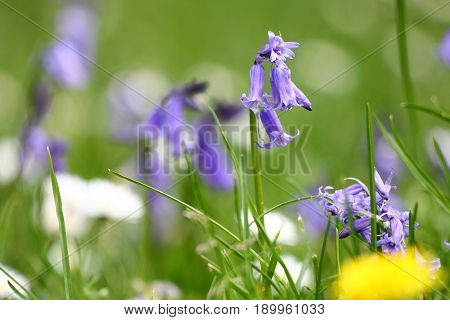 Bluebell flowers starting to emerge from a woodland floor