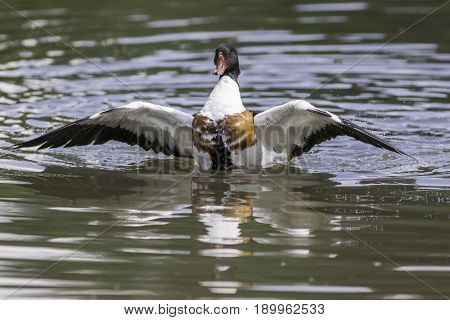 Common shelduck. Male duck with wings outstretched on water. Magnificent waterfowl.