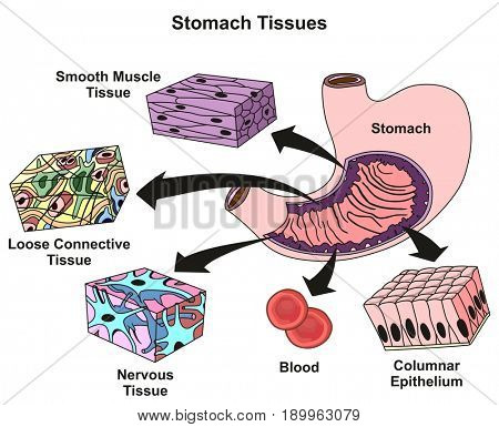 Stomach Tissues Types and Structure infographic diagram including smooth muscle loose connective nervous blood, columnar epithelium for medical science education and health care