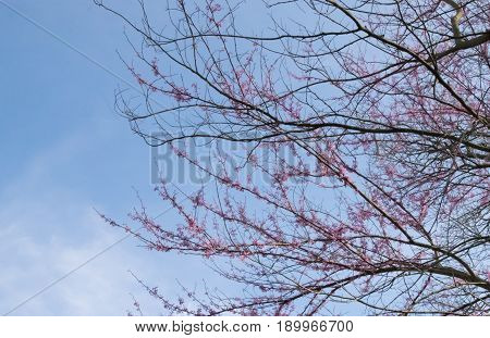 Redbud tree (Cercis canadensis) in bloom with pink and purple flowers in spring.