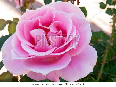 Detail photo of open pink rose with soft colors on petal edges. Outdoors.