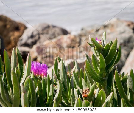Vivid pink flower and native foliage on shoreline in San Diego, California, USA