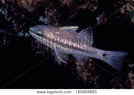 An Iridescent Cardinalfish, ( Apogon kallopterus) at the Kwajalein Atoll in the Pacific