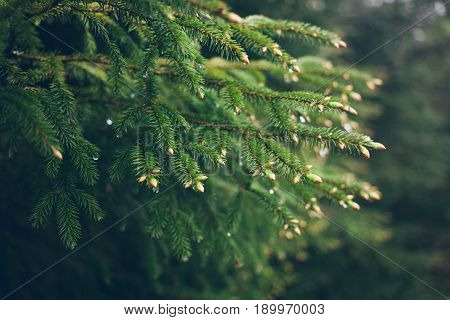 Raindrops on green fir-tree Branch. Fir-tree needles and water drops. Horizontal close-up of morning dew on fir tree branches with forest in the background