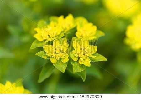 Macro of the spurge flower Euphorbia falcata