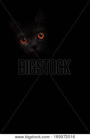 Black cat with orange eyes is looking out of the shadow on the black background. Dark cat, kitten orange eye. Shadow black kitty. Cat in black. Cute kitten. Incredible dark shadow cat