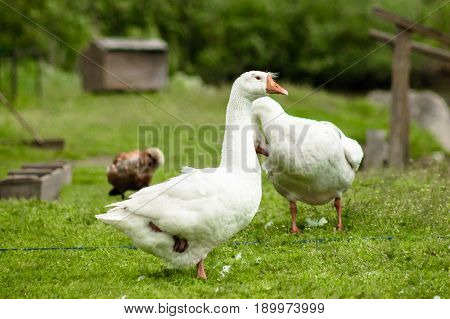 White Goose Stands On One Leg On A Green Grass.
