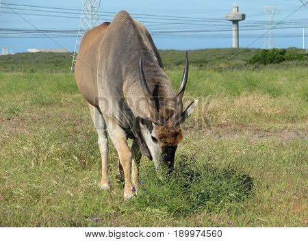 ELAND ANTELOPE, FROM KOEBERG NATURE  RESERVE, CAPE TOWN, SOUTH AFRICA