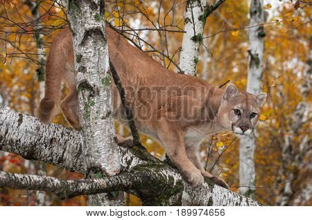 Adult Male Cougar (Puma concolor) Crouches in Trees - captive animal