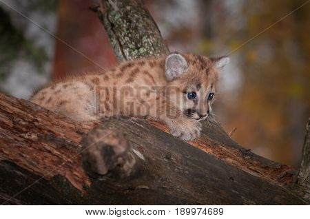 Female Cougar Kitten (Puma concolor) Clings to Branch - captive animal