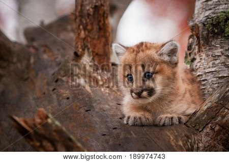 Female Cougar Kitten (Puma concolor) Sits Comfortably in Tree - captive animal