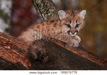 Female Cougar Kitten (Puma concolor) Big Eyes - captive animal