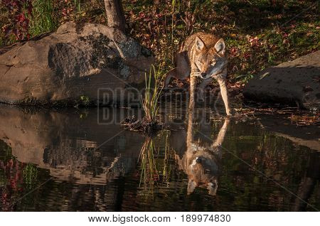 Coyote (Canis latrans) Steps Into Water - captive animal