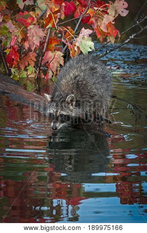 Raccoon (Procyon lotor) Leans Out on Log - captive animal