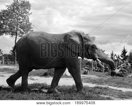 Elephants are large mammals of the family Elephantidae and the order Proboscidea. Two species are traditionally recognised, the African elephan and the Asian elephant