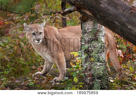 Adult Male Cougar (Puma concolor) Stands on Rock Behind Trees - captive animal