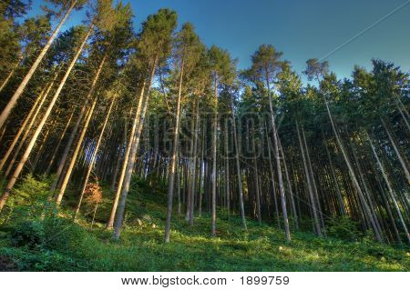 Coniferous Wood With Fog And Dark Blue Sky