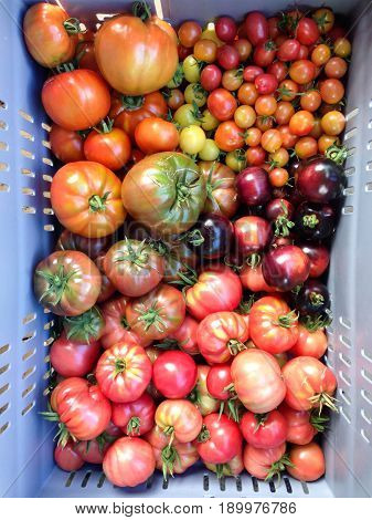 Crate of imperfect homegrown heirloom and heritage tomatoes in red green purple and yellow colors at a farmers market