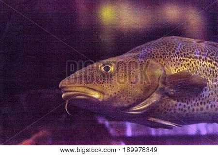 Atlantic cod fish Gadus morhua is endangered and can be found from Greenland and the Labrador Sea to Cape Hatteras North Carolina.