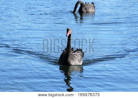 Black swan on blue lake with swan in background feeding.