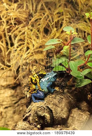 Blue poison dart frog Dendrobates tinctorius azureus and Bumble bee poison dart frog Dendrobates leucomelas interspecies mating in a vivarium.