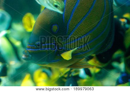 Blueringed Angelfish Pomacanthus Annularis