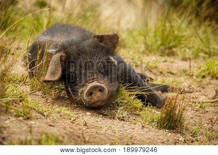 Small cute black pig baby enjoying the outside fresh air, Ecuador