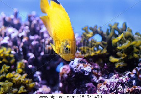 Yellow Three Spot Angelfish Apolemichthys Trimaculatus