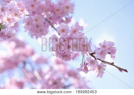 Spring Cherry Blossoms, Pink Flowers With Blue Sky Background