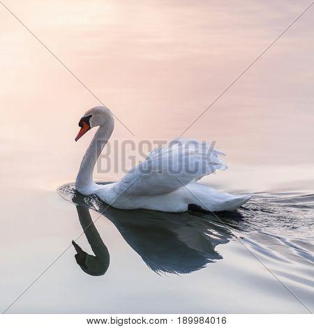 White swan swimming on lake water surface reflecting pink sunset, square format.