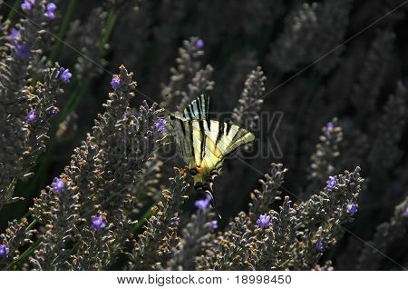 Yellow butterfly on lavanda plant.